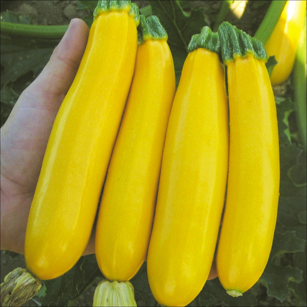 Image Result For Yellow Zucchini